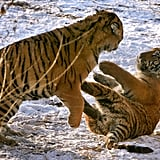 These two Siberian tigers played at the largest Siberian tigers park in the world in Harbin, China.