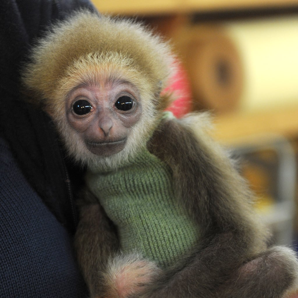 Cute White-Handed Gibbon Baby at Bremen Zoo | POPSUGAR Pets