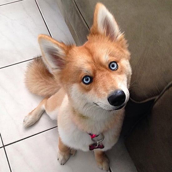 Mya the Pomsky Instagram