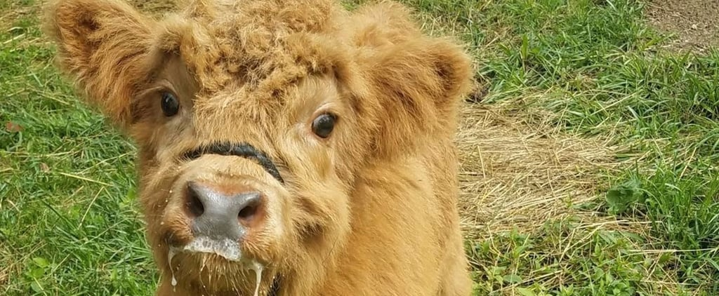 Cute Pictures of Highland Cows
