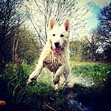 If there was ever a dog equivalent of Tom Cruise, then this is it. Hero is a White German Shepherd who makes action shots look easy.  Source: Instagram user handsomemike