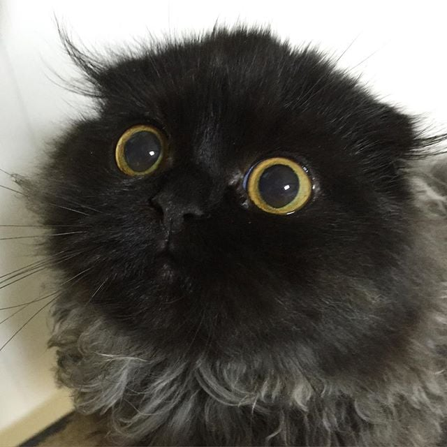 Gimo the Cat With Big Eyes Instagram