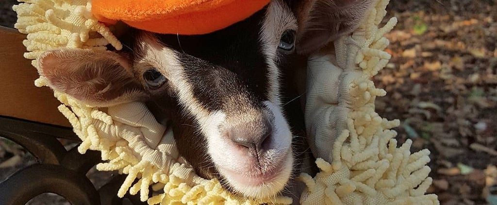 This Special-Needs Goat Only Calms Down in Her Duck Costume