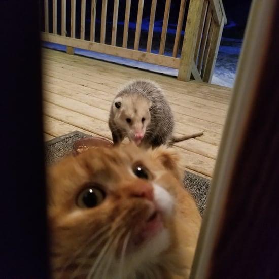 Possum Steals Cat's Dinner