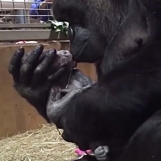 Gorilla Kissing Newborn Baby