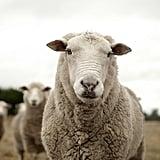 The Sheep Placenta Facial