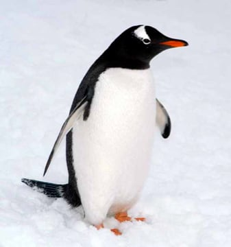 Gentoo penguins are distinguished by their bright red-orange bills and conspicuous white patches behind their eyes. Long stiff tail feathers stick out behind them as they walk and cock up in the water when they're swimming, making them fairly easy to spot. Source: Center For Coastal Physical Oceanography