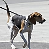 Treeing Walker Coonhound: Mixed Up