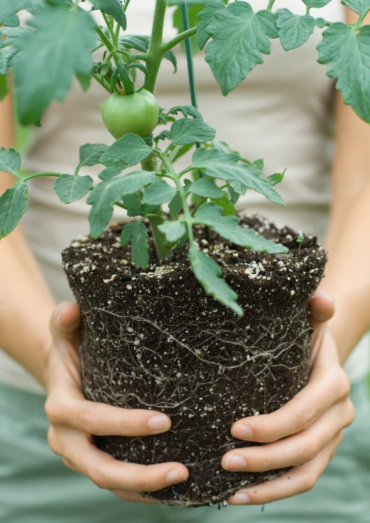 Where to Buy Tomato Plants Online