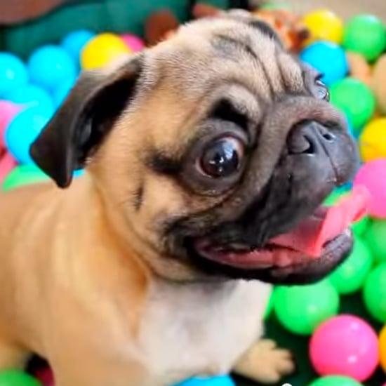 Why We Love Pugs