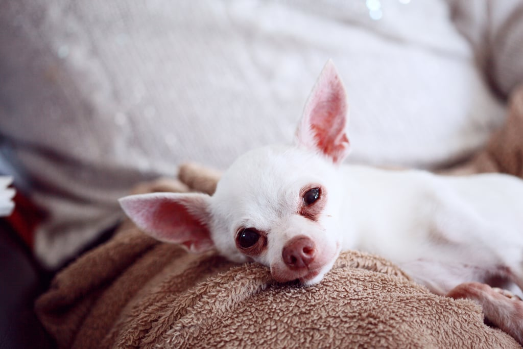 Cute Chihuahua Pictures