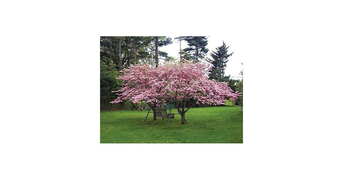 1 Pink Dogwood Tree 8-16 tall