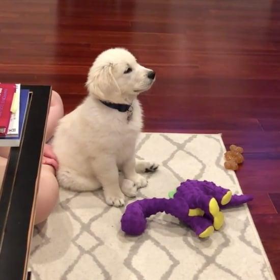 Video of Golden Retriever Puppy Watching Hercules