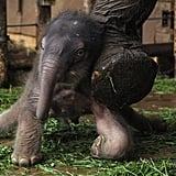 This newborn elephant is still a bit wobbly on his feet.