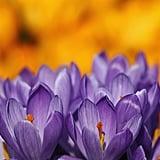 Purple crocuses were blooming in London's Hyde Park.