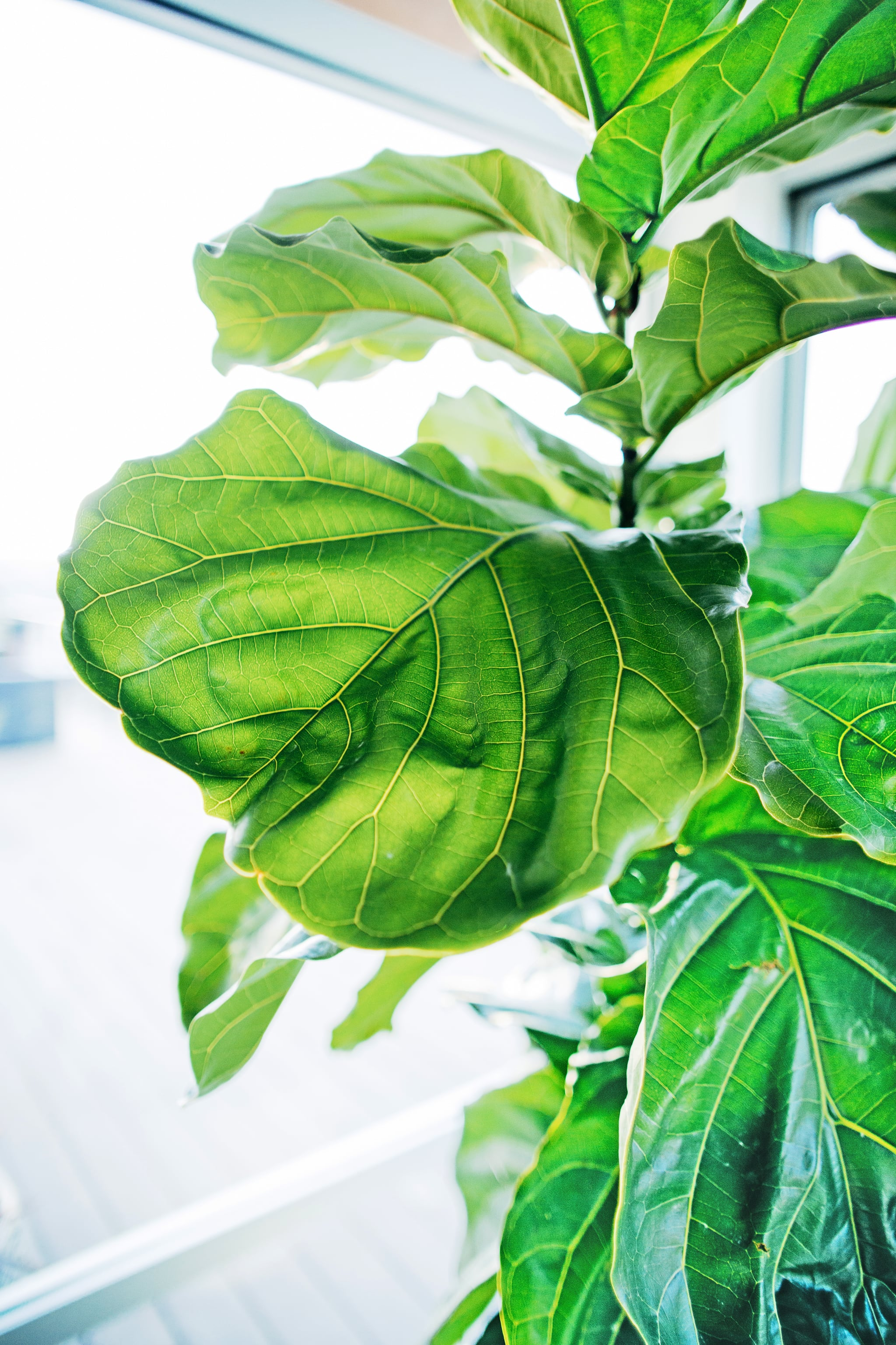of trendy plants dominating instagram accounts thereu0027s no denying the staying power of one in particular the fiddle leaf fig tree