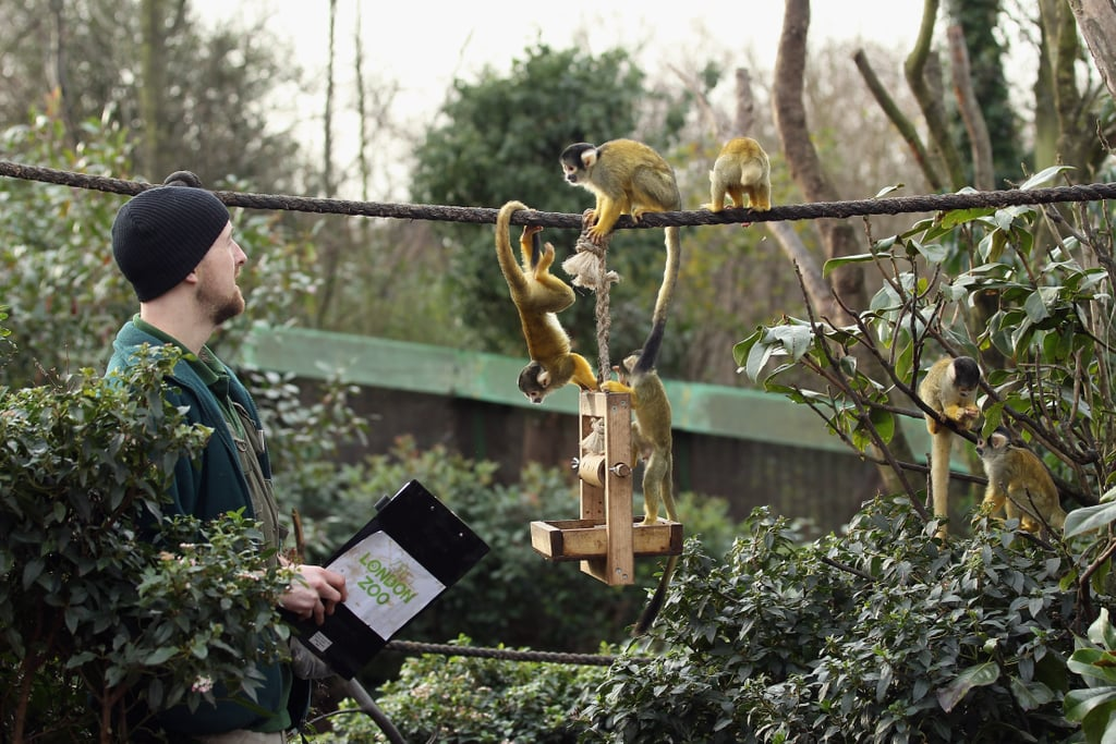Leaping and tumbling squirrel monkeys don't make the task any easier for this keeper.