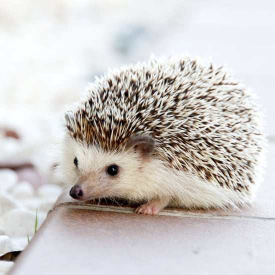 What to Know Before Getting a Hedgehog