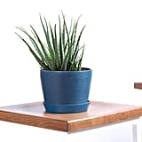 Bloomscape Potted Hedgehog Aloe Indoor Plant