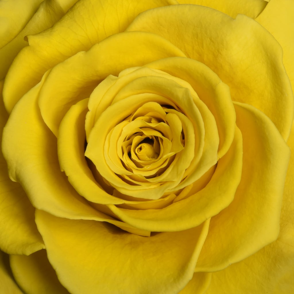 Yellow Rose Color Meaning Popsugar Middle East Smart Living Photo 18