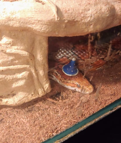 Snake in a Wizard Hat