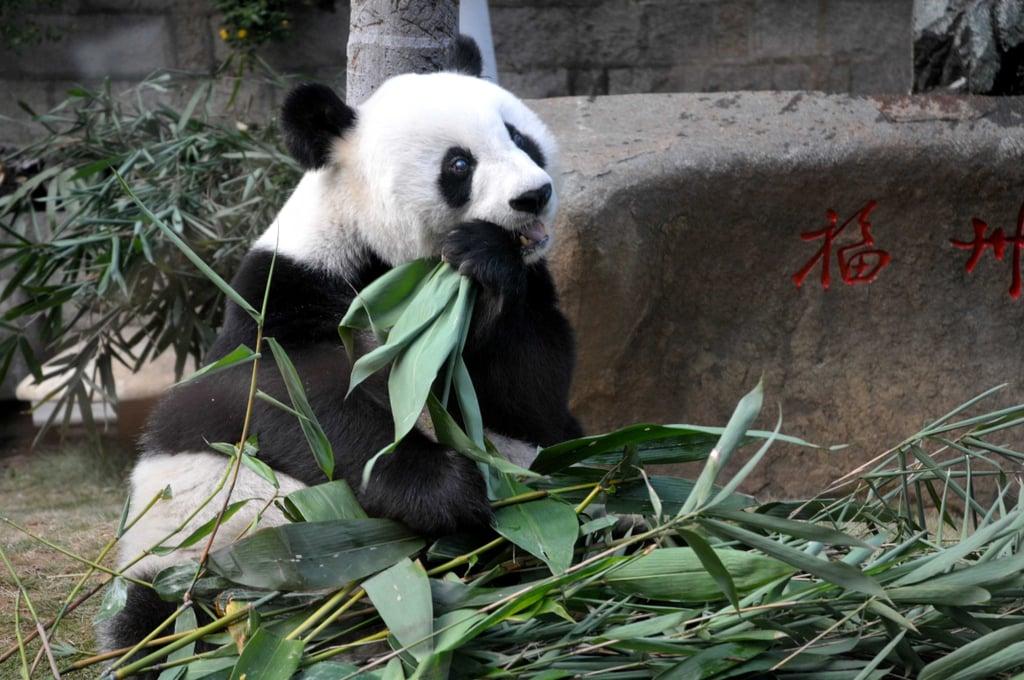 Pictures of Panpan the Giant Panda