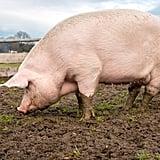 Manger des Pieds de Cochon