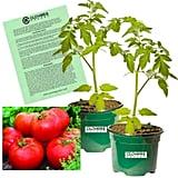Clovers Garden Big Boy Tomato Plants
