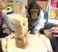 Chimpanzee Plays Jenga