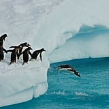 Penguins queued up to take their turns diving into the frozen water.