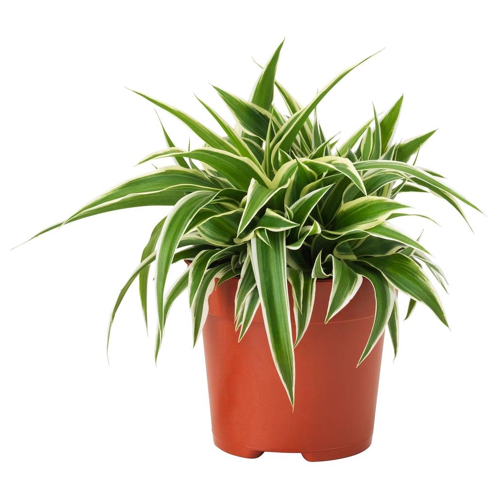Chlorophytum Potted Plant