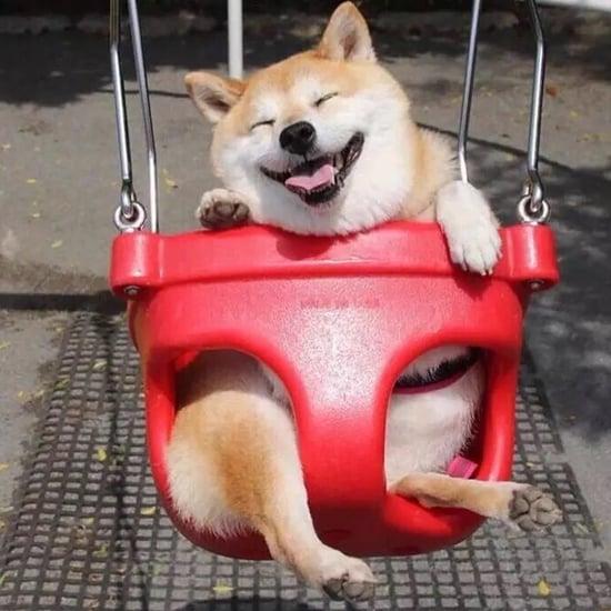 Happy Shiba Inu Gets Photoshopped
