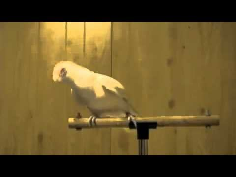"Video of a Bird Dancing to ""Whip My Hair"""