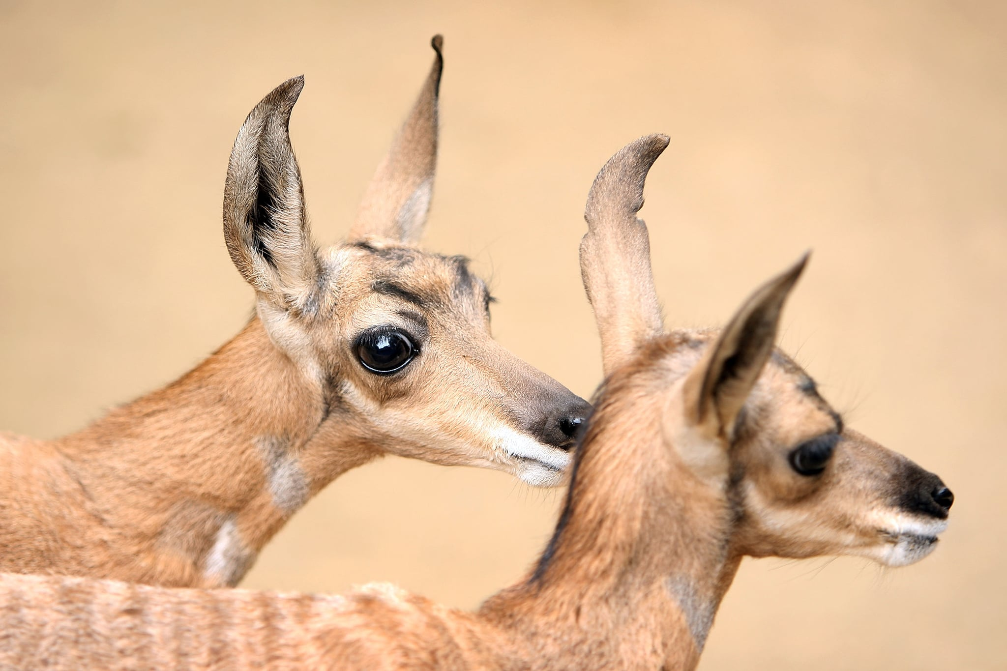 Once a regular sight in Baja, CA, the Peninsular pronghorn now numbers about 250 in the wild. The only US institution to intensively breed this species, the Los Angeles Zoo now boasts the birth of three pairs of these leggy creatures.