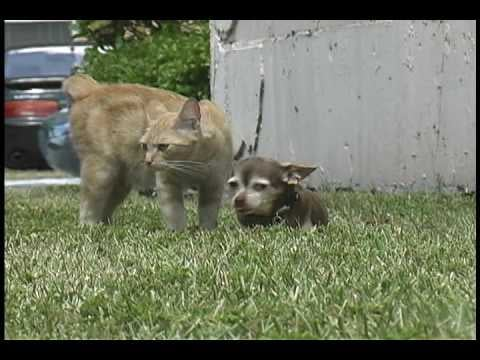 Video of Chihuahua and Cat Friends