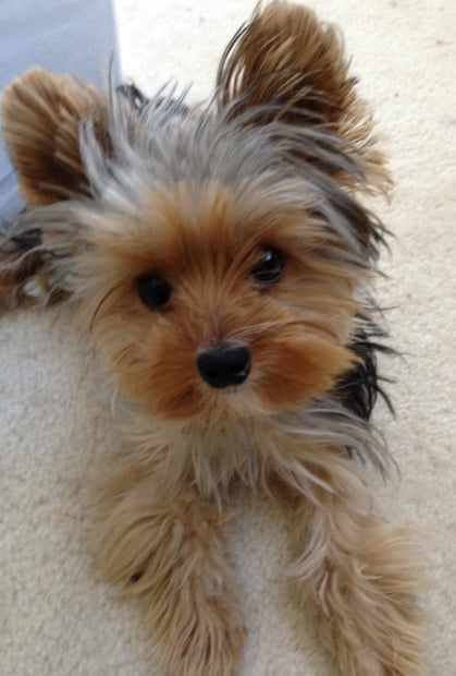 PopSugar Editorial Assistant Michelle Manning shared a pic of her Yorkie, Oliver, that's too cute for words.