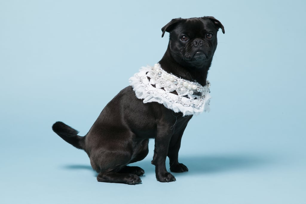 Pepper, a Pug-Terrier mix, with Michaela Buerger's White Crochet Chiffon Jane Collar ($535).