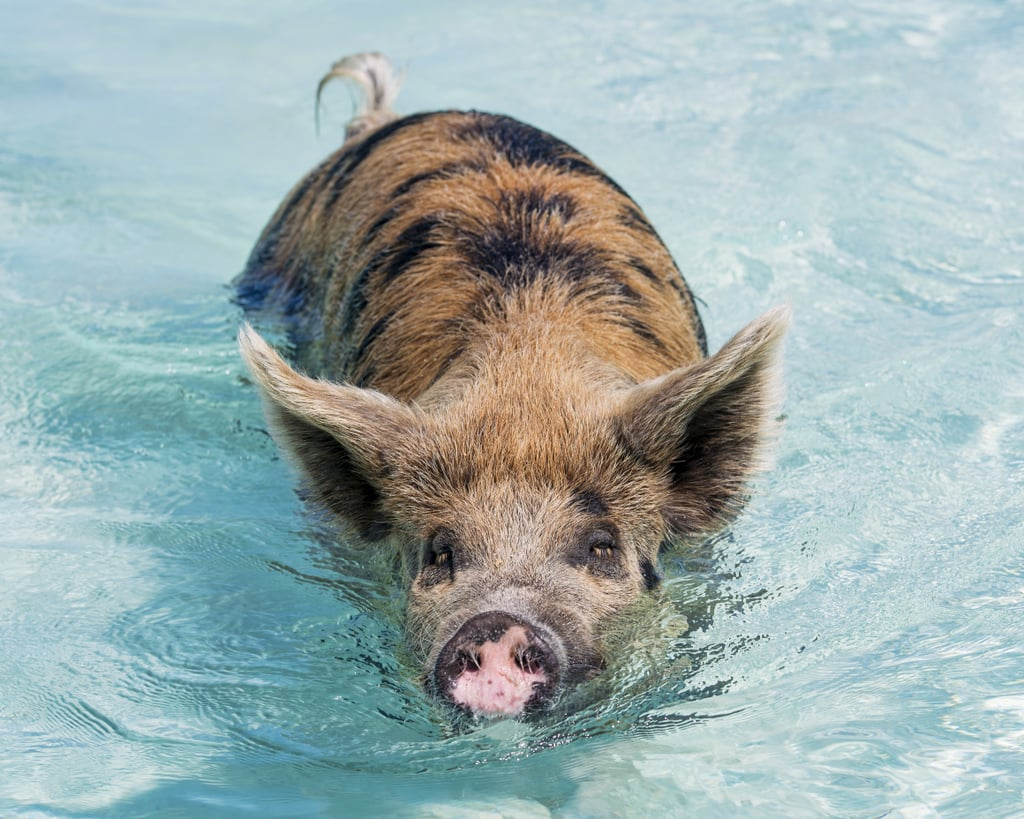 Swim with the pigs at Pig Beach in the Bahamas.