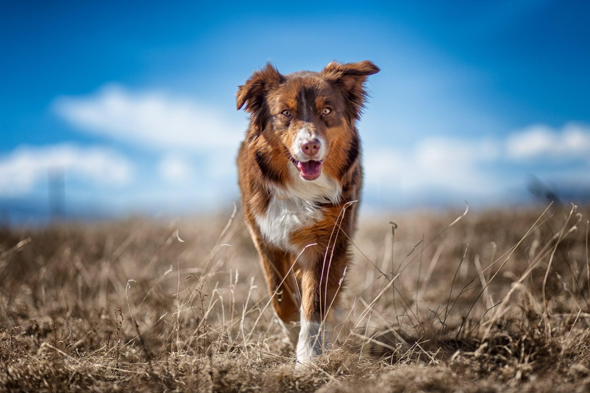 Cute Pictures Of Australian Shepherds Popsugar Pets