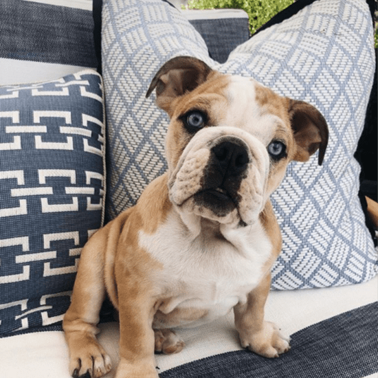Reese Witherspoon Shares Lou the Bulldog Ate Her Shoe