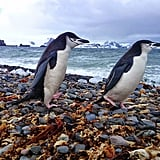 """According to Garfors, """"penguins in their real environment are a must-see. They are incredible swimmers and posers."""""""