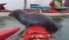 Seal Goes Kayaking