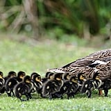 The female mallard lays half her body weight in eggs, which results in lots of ducklings to make way for!