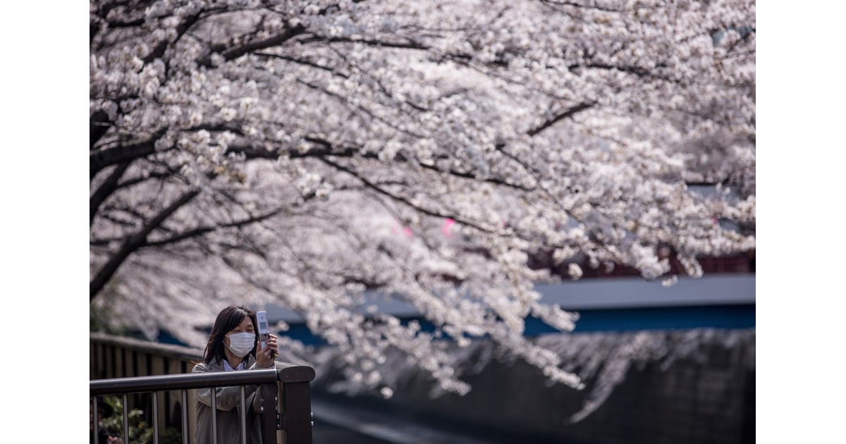 Celebrity Amp Entertainment Japan S Cherry Blossoms Are