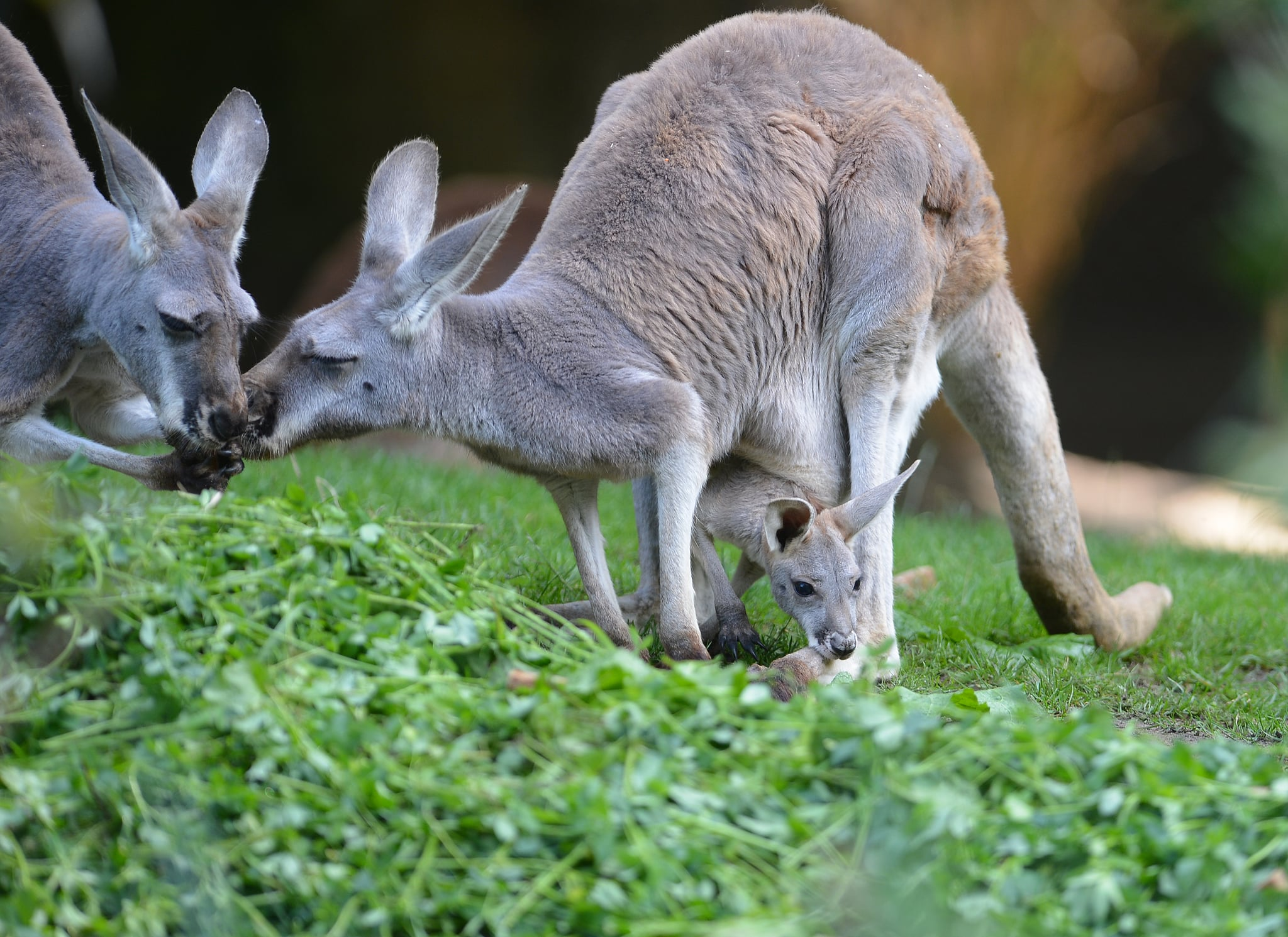Boo! A joey pokes his head out of mom's pouch to score a bite.