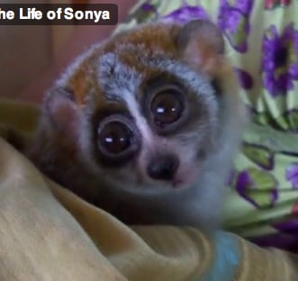 Friday Feel Good: Another Adorable Loris