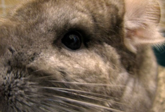 What Do You Know About Chinchillas?
