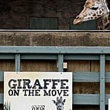 This Giraffe Flies High and Sails Far