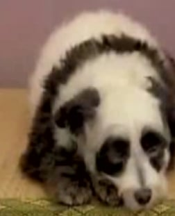 It's A Panda! It's A Dog!  It's A Pandog!