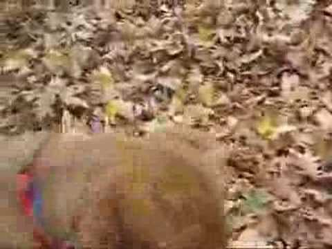 Super-Cute Video: Honey's on the Ball, in the Leaves